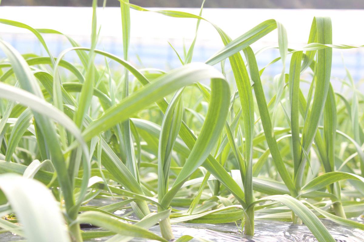 葉にんにく(冷凍) サブ写真2